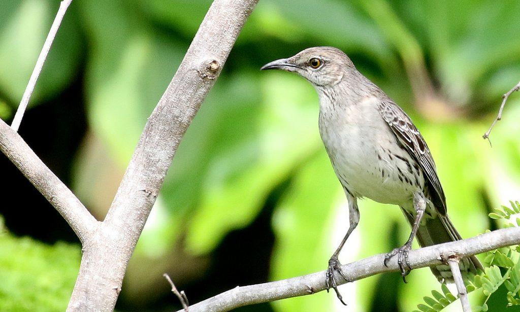 Bahama Mockingbird at Key West Botanical Garden